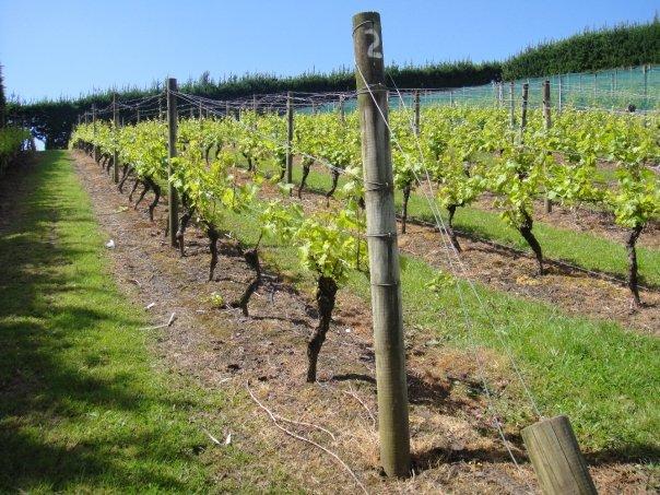 Vineyard in Auckland, New Zealand